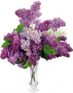 Bouquet of 25 violet lilac | Purple flowers