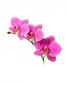 Bouquet of an orchid pink | 15 flowers flowers
